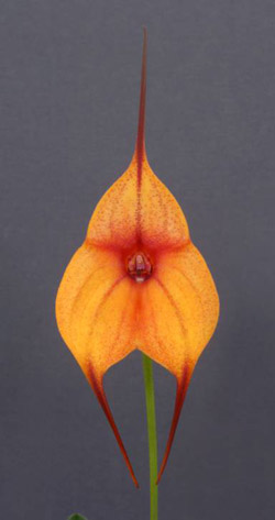My Orchid Dr Alfred Plechner